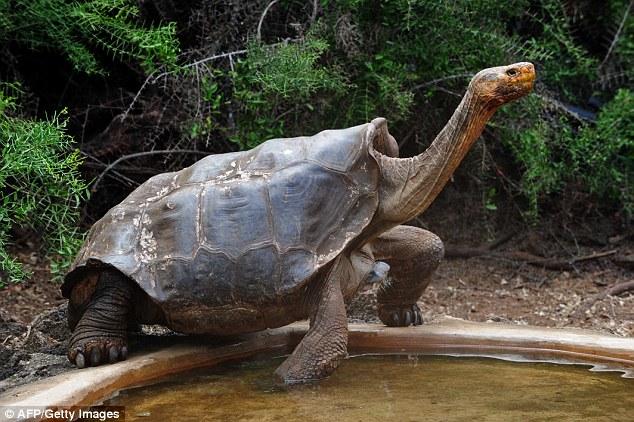 Cụ rùa khổng lồ 100 tuổi đẻ 800 con tràn ngập đảo - 1