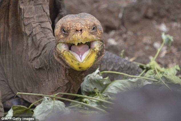 Cụ rùa khổng lồ 100 tuổi đẻ 800 con tràn ngập đảo - 2