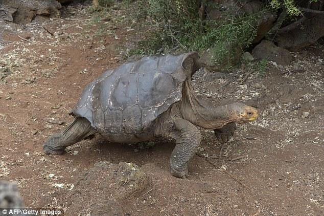 Cụ rùa khổng lồ 100 tuổi đẻ 800 con tràn ngập đảo - 3