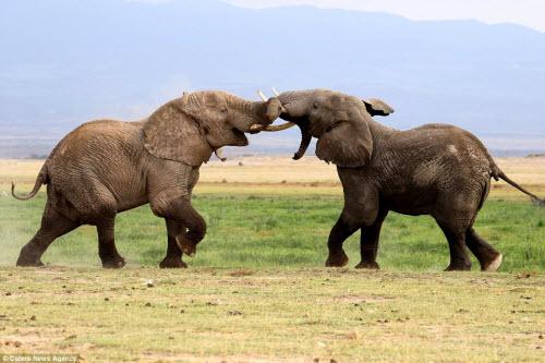 Voi già mất ngà quyết chiến voi trẻ bảo vệ ngôi đầu đàn - 1
