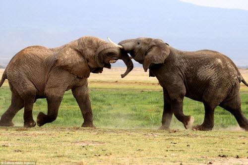 Voi già mất ngà quyết chiến voi trẻ bảo vệ ngôi đầu đàn - 2