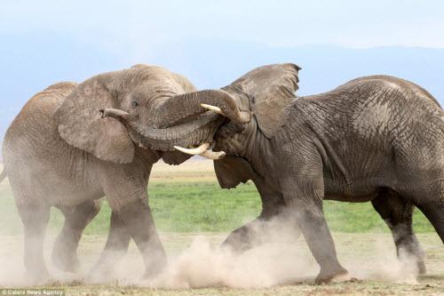 Voi già mất ngà quyết chiến voi trẻ bảo vệ ngôi đầu đàn - 3