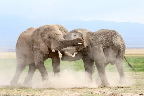 Voi già mất ngà quyết chiến voi trẻ bảo vệ ngôi đầu đàn - 4