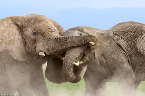 Voi già mất ngà quyết chiến voi trẻ bảo vệ ngôi đầu đàn - 5
