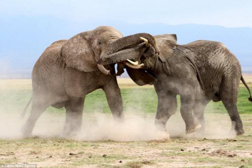 Voi già mất ngà quyết chiến voi trẻ bảo vệ ngôi đầu đàn - 6