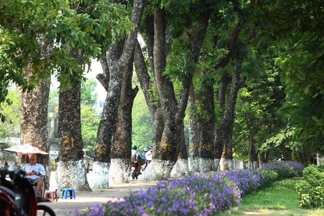"""Ngắm những """"lão xà cừ"""" trên đường Kim Mã trước ngày bứng gốc - 6"""
