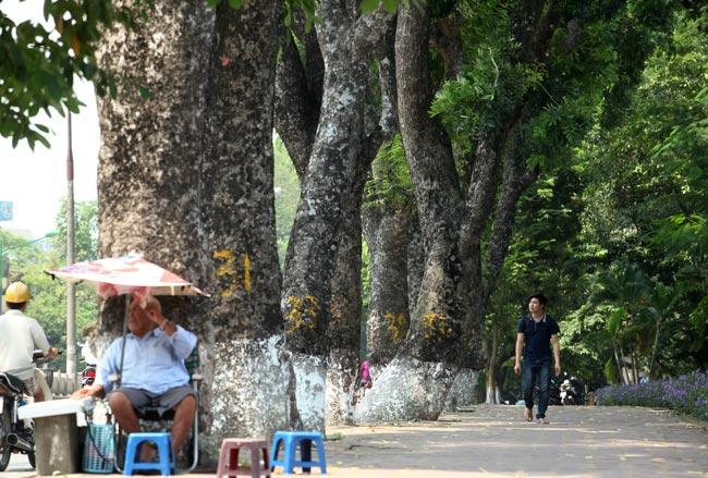 """Ngắm những """"lão xà cừ"""" trên đường Kim Mã trước ngày bứng gốc - 9"""