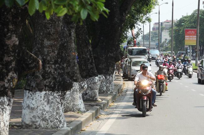 """Ngắm những """"lão xà cừ"""" trên đường Kim Mã trước ngày bứng gốc - 12"""