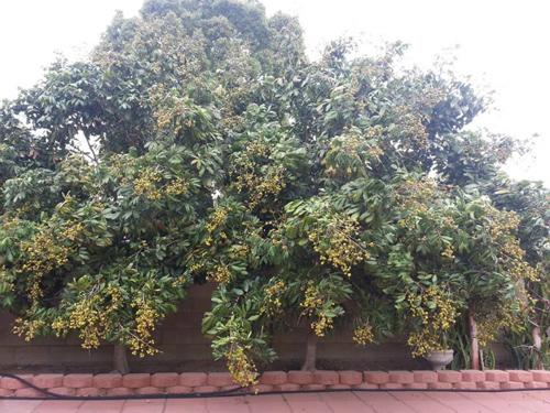 Cận cảnh vườn cây sai trĩu quả trong nhà Quang Lê ở Mỹ - 5