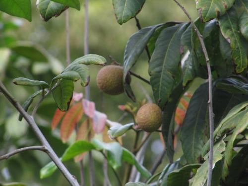 Cận cảnh vườn cây sai trĩu quả trong nhà Quang Lê ở Mỹ - 6