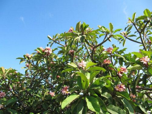 Cận cảnh vườn cây sai trĩu quả trong nhà Quang Lê ở Mỹ - 9