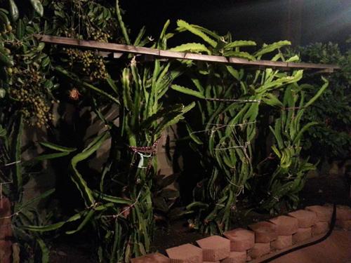 Cận cảnh vườn cây sai trĩu quả trong nhà Quang Lê ở Mỹ - 10