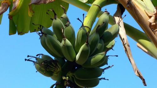 Cận cảnh vườn cây sai trĩu quả trong nhà Quang Lê ở Mỹ - 13