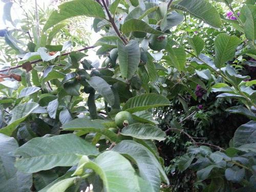 Cận cảnh vườn cây sai trĩu quả trong nhà Quang Lê ở Mỹ - 14