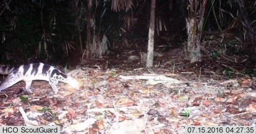 Cầy quý hiếm được cho đã tuyệt chủng xuất hiện ở Huế - 1