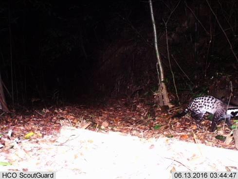 Cầy quý hiếm được cho đã tuyệt chủng xuất hiện ở Huế - 2