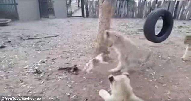 Chó con quyết chiến với 3 sư tử để bảo vệ thức ăn - 2