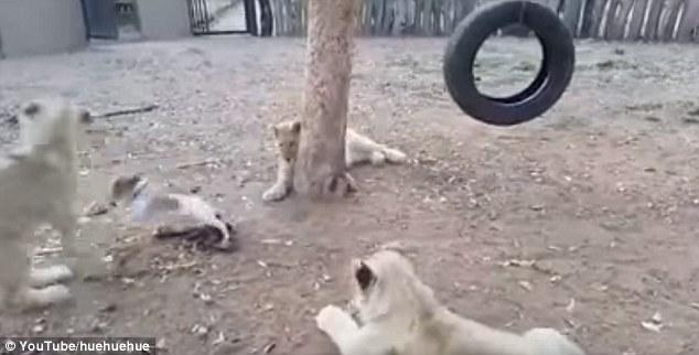 Chó con quyết chiến với 3 sư tử để bảo vệ thức ăn - 1