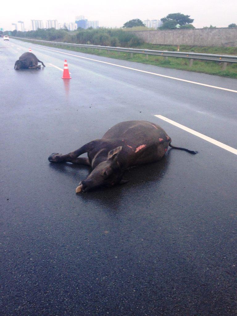 Hy hữu: Hai con trâu bị ô tô tông chết trên cao tốc - 1