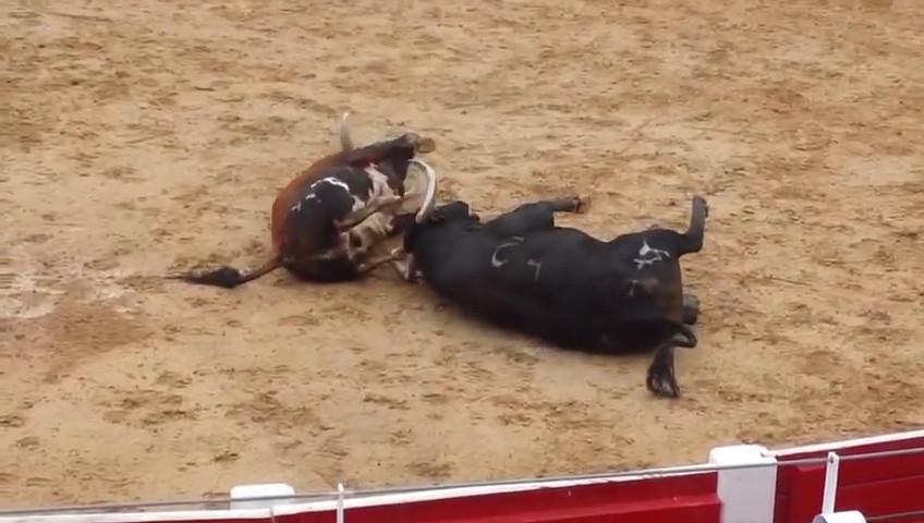 Video: Húc nhau một cú sấm sét, hai bò tót lăn quay chết thẳng cẳng - 2