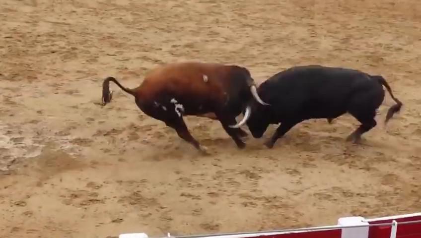 Video: Húc nhau một cú sấm sét, hai bò tót lăn quay chết thẳng cẳng - 1