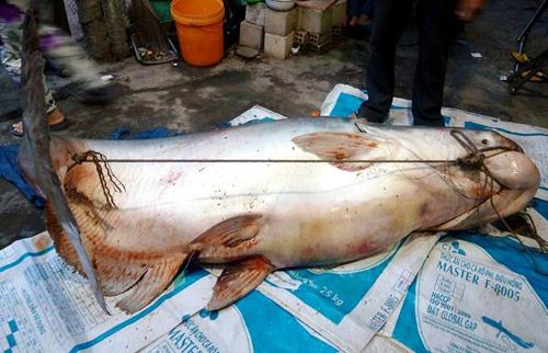 """Cận cảnh cá """"to như chiếc xuồng"""" từ miền Tây về Sài Gòn - 2"""