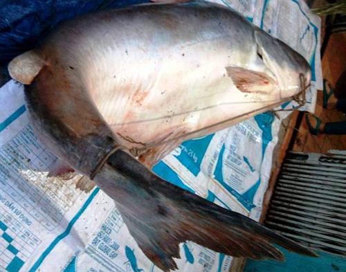 """Cận cảnh cá """"to như chiếc xuồng"""" từ miền Tây về Sài Gòn - 3"""