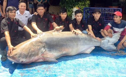 """Cận cảnh cá """"to như chiếc xuồng"""" từ miền Tây về Sài Gòn - 8"""