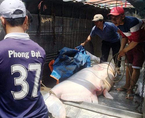 """Cận cảnh cá """"to như chiếc xuồng"""" từ miền Tây về Sài Gòn - 4"""