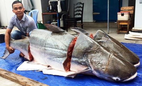 """Cận cảnh cá """"to như chiếc xuồng"""" từ miền Tây về Sài Gòn - 11"""