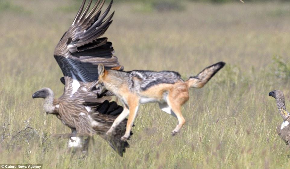 Bị cướp mồi, chó rừng một mình đánh bại 6 kền kền đói - 3