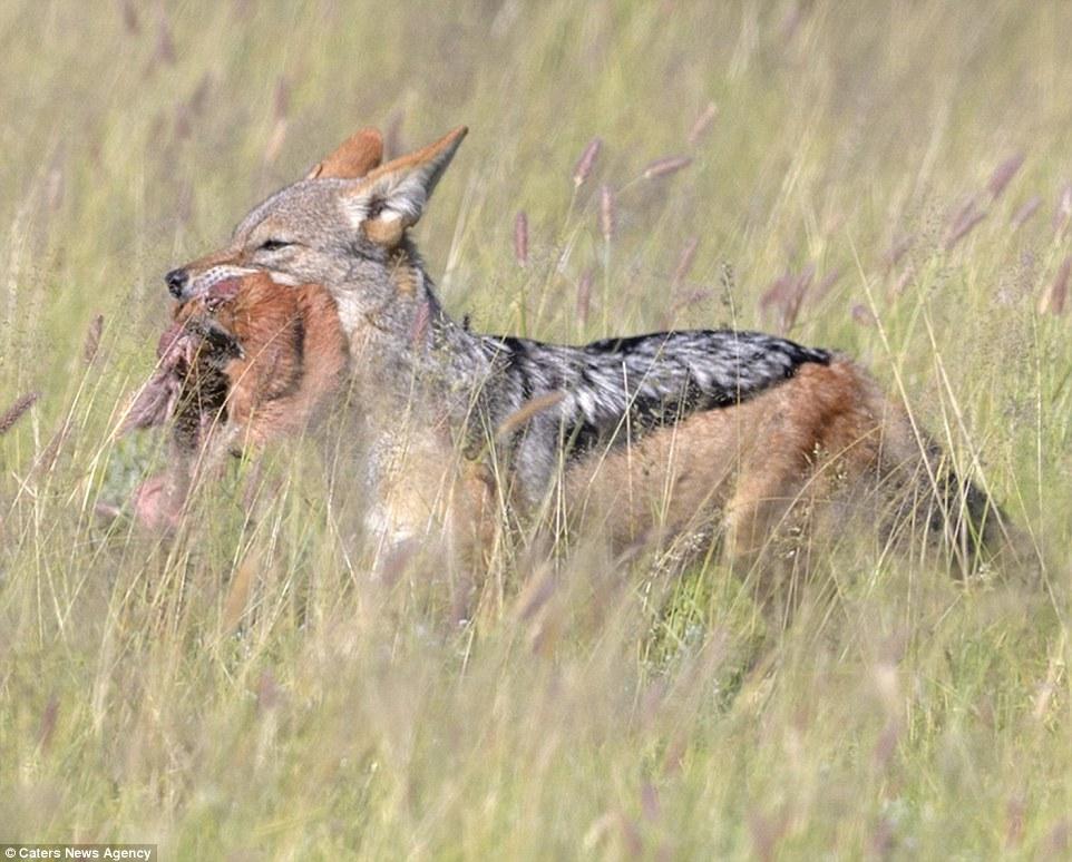 Bị cướp mồi, chó rừng một mình đánh bại 6 kền kền đói - 6