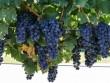 Trung Quốc phóng nho lên vũ trụ để làm rượu vang hảo hạng