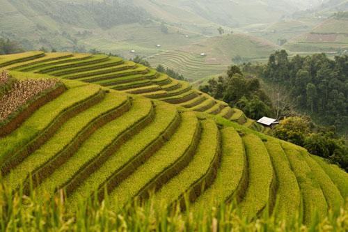 Những triền đồi vàng rực đẹp mê hồn ở Mù Cang Chải - 4