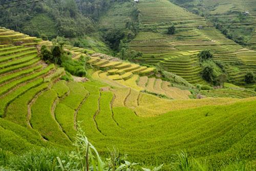 Những triền đồi vàng rực đẹp mê hồn ở Mù Cang Chải - 1