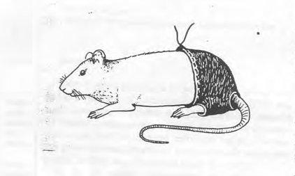 Nghiên cứu đời sống tình dục của chuột đoạt giải Ig Nobel - 1