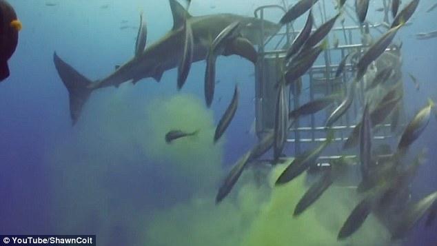 """Video: Cá mập """"sát thủ đại dương"""" bất ngờ bĩnh một bãi trước mặt thợ lặn - 2"""