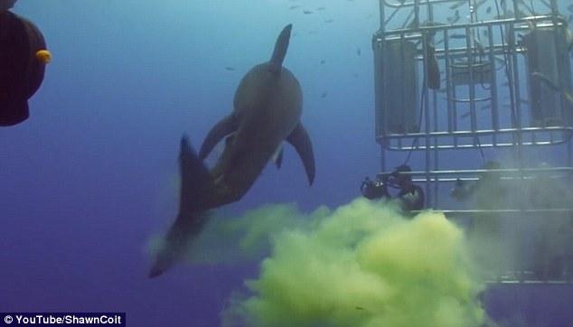 """Video: Cá mập """"sát thủ đại dương"""" bất ngờ bĩnh một bãi trước mặt thợ lặn - 1"""