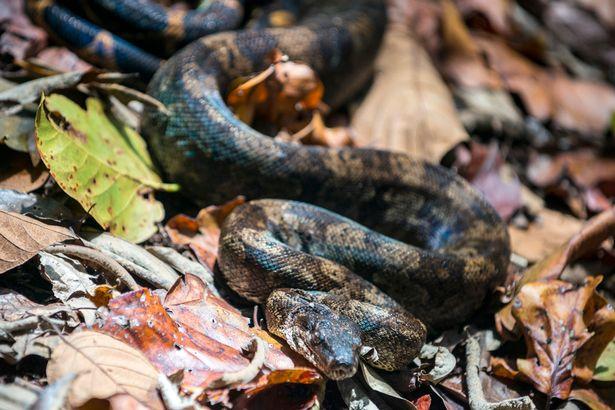 Ra thăm vườn bỗng giẫm phải rắn xiết mồi dài 1,2m - 3