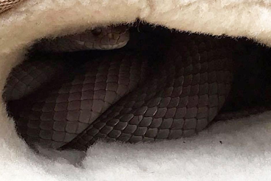 Úc: Định xỏ giày, thấy rắn cực độc hau háu nấp bên trong - 2