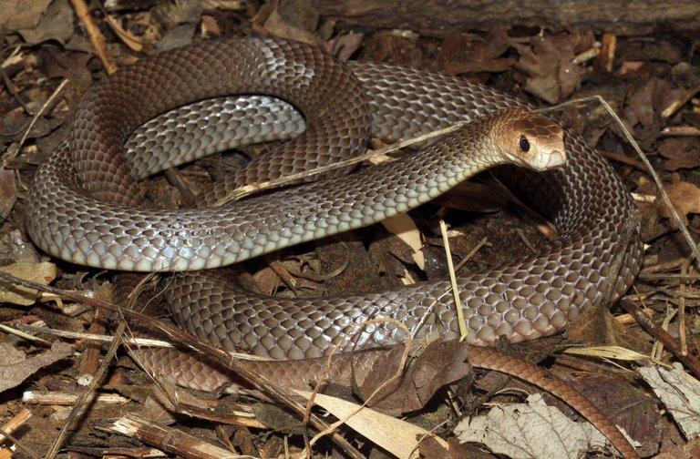 Úc: Định xỏ giày, thấy rắn cực độc hau háu nấp bên trong - 3