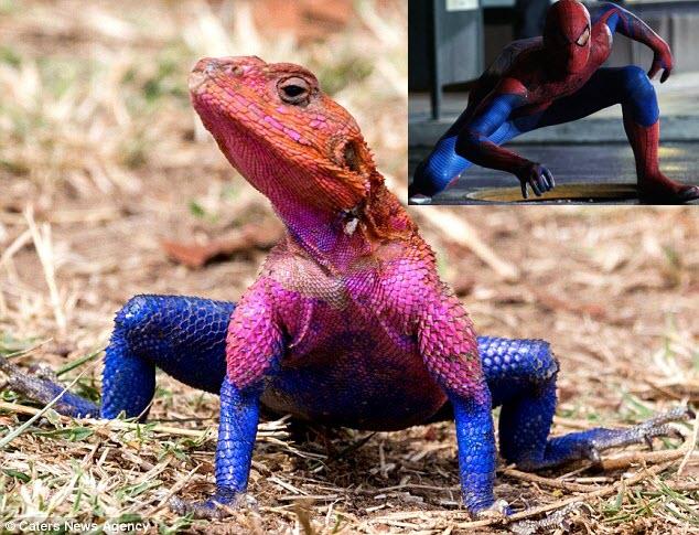Phát hiện thằn lằn giống hệt người nhện - 1