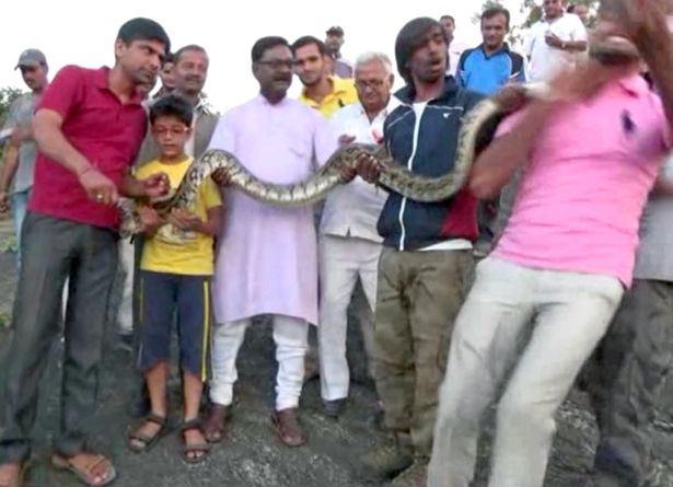 """Ấn Độ: Chụp """"tự sướng"""" với trăn khổng lồ và cái kết đắng - 2"""