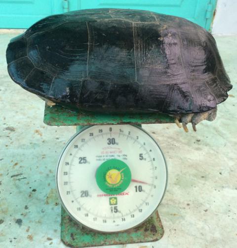 Cụ rùa 9kg mắc cạn trong ao tôm ở Bạc Liêu - 2