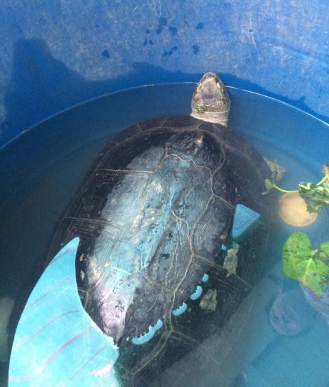 Cụ rùa 9kg mắc cạn trong ao tôm ở Bạc Liêu - 1