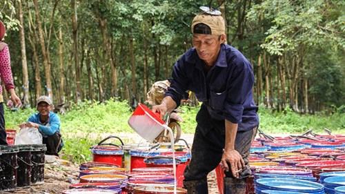 Nếu Hoàng Anh Gia Lai bán cao su tại Lào… - 2