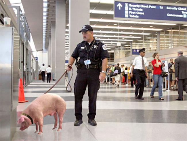 """Sân bay này dùng cả  """" lợn nghiệp vụ """"  cơ à."""