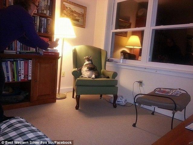 Mèo Mỹ béo phì núng nính cố nằm ngửa mãi không được - 3