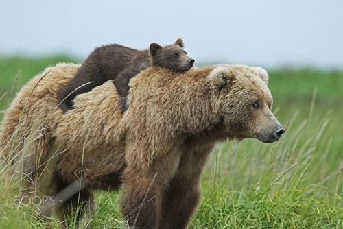 Học hỏi được gì từ cách dạy con của loài gấu - 1