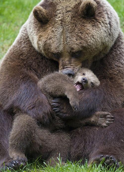 Học hỏi được gì từ cách dạy con của loài gấu - 2